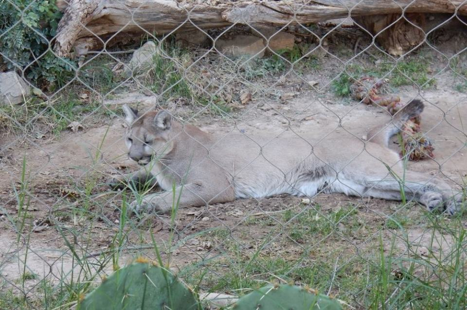 Here is one of the mountain lions at the park, taking a rest from romping with it;'s companion.