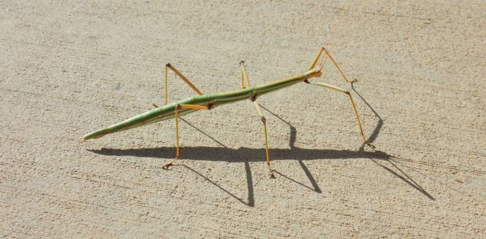 This was the first Walking Stick bug I'd ever seen in the wild. We found him on a sidewalk and gently helped him into the bushes where he wouldn't get stepped on.