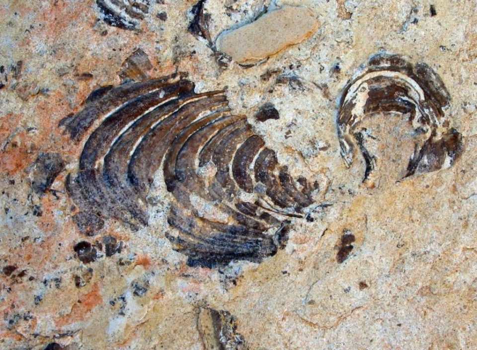 Giant Oyster Fossil from 90 million years ago