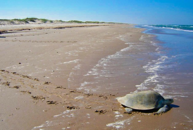 Padre Island Turtles