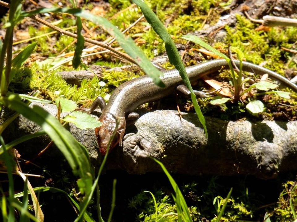 Broadhead Skink Found near Miller's Creek