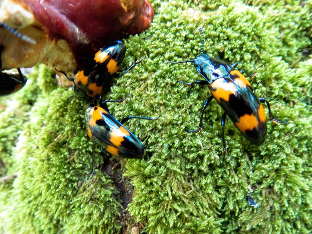 Pleasing fungus beetles feeding on woody mushrooms