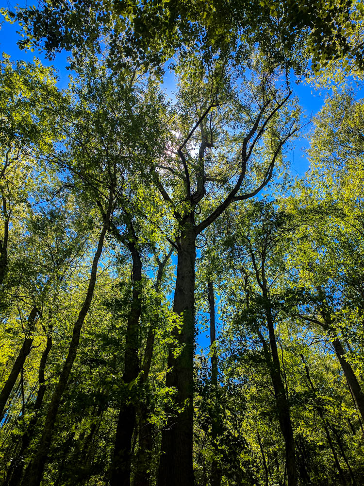 Cove Hardwood Trees