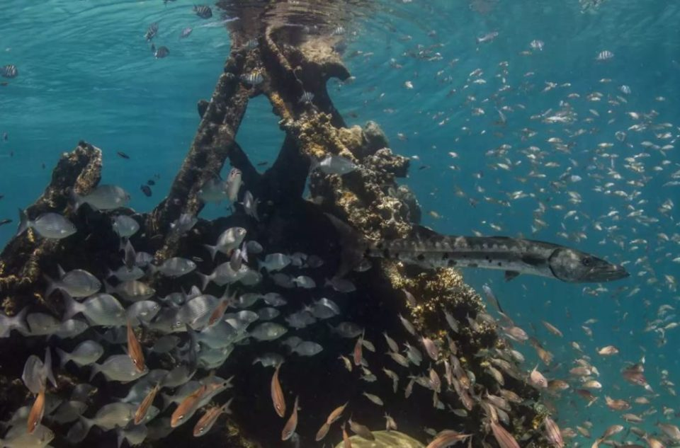 Schools of fish swim around the remains of a Windjammer