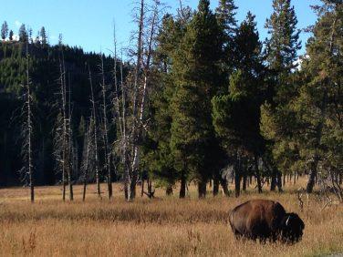 More bison!