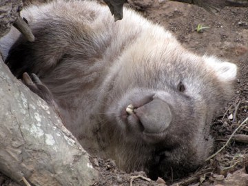 A sleepy wombat