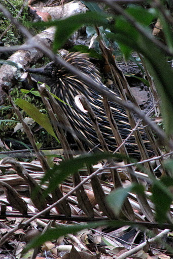 It's a camouflaged echidna!