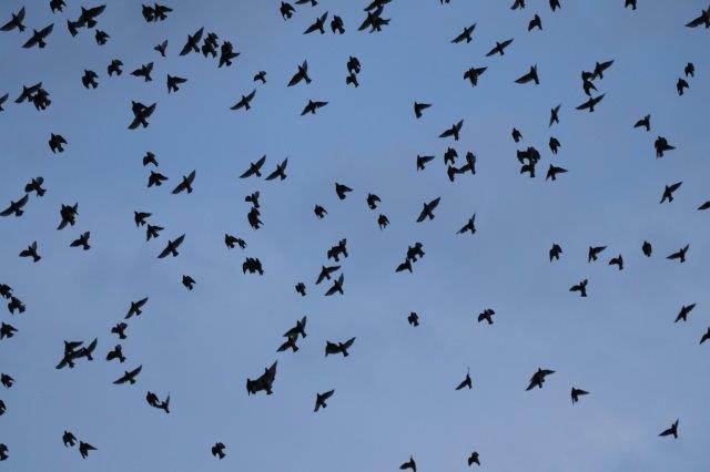 野鳥, 鳥, ヒッチコック, 電線, ふん害, 迷惑,