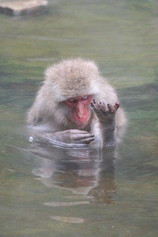 snow monkey park, hot spa monkey, monkey, hot spa, nagano, onsen, 地獄谷野猿公苑, 猿の温泉, 温泉, ニホンサル, 猿の入浴, 長野県,