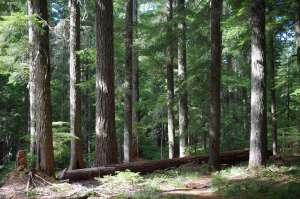 The lower portion of the trunks of ten large coniferous trees foregrounded against innumerably more trees behind them.