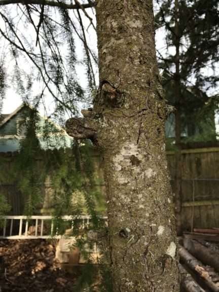 A pruning saw is cutting a branch off close to the trunk of the tree.