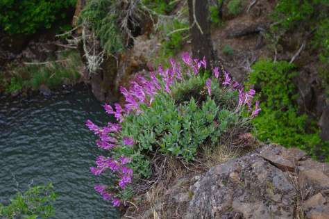 A rock with a growth of purple-flowering plants on top of it, leaning out over water.