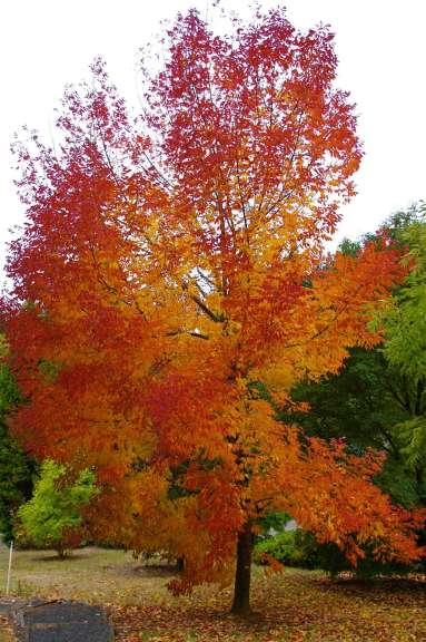A tall tree filled with red and orange leaves.