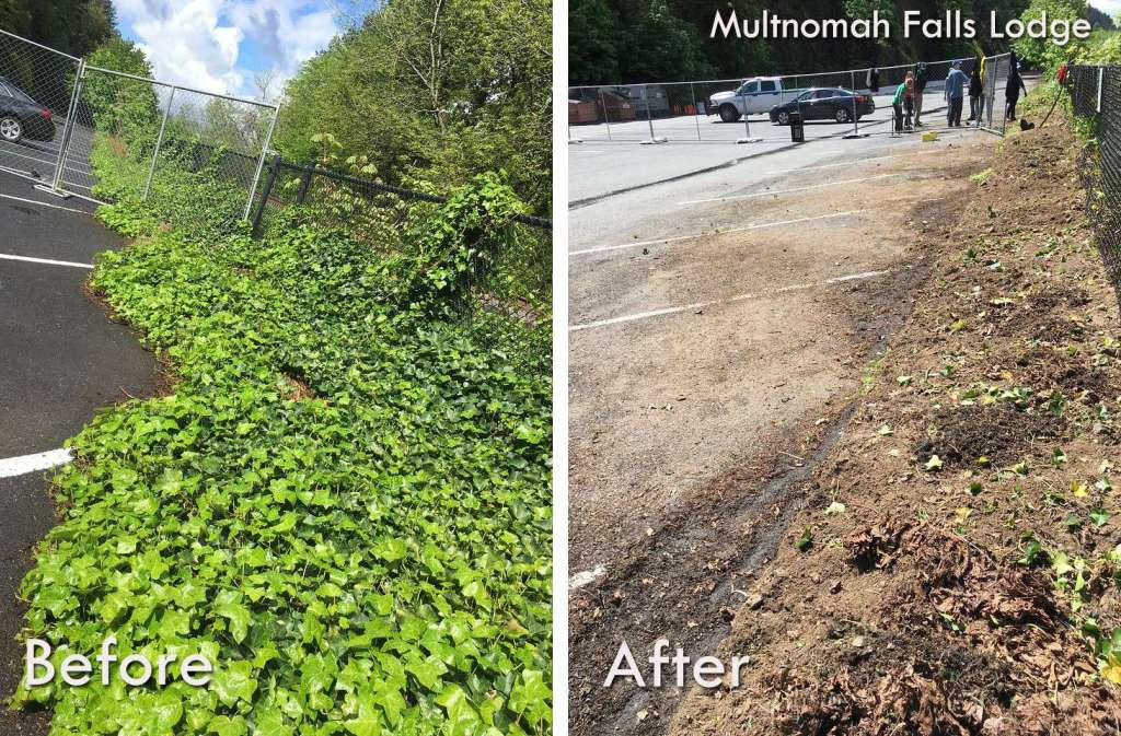 """A """"before"""" photo of vibrantly green ivy spreading across parking spaces and over a fence along a road; an """"after"""" photo of the same spot with cleared parking spaces and bare dirt along the fence."""