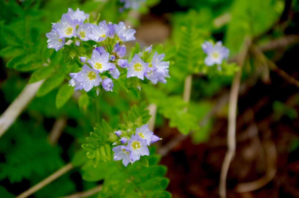 Pale purple wildflowers against a background of green leaves.