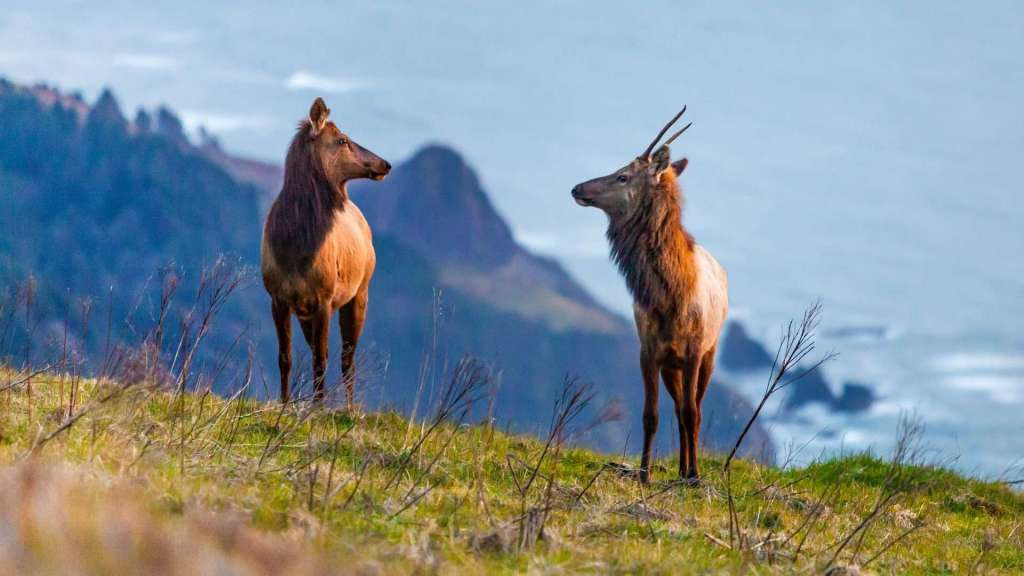 Two elk stand on a high promontory with lower headlands and a blue ocean in the background.