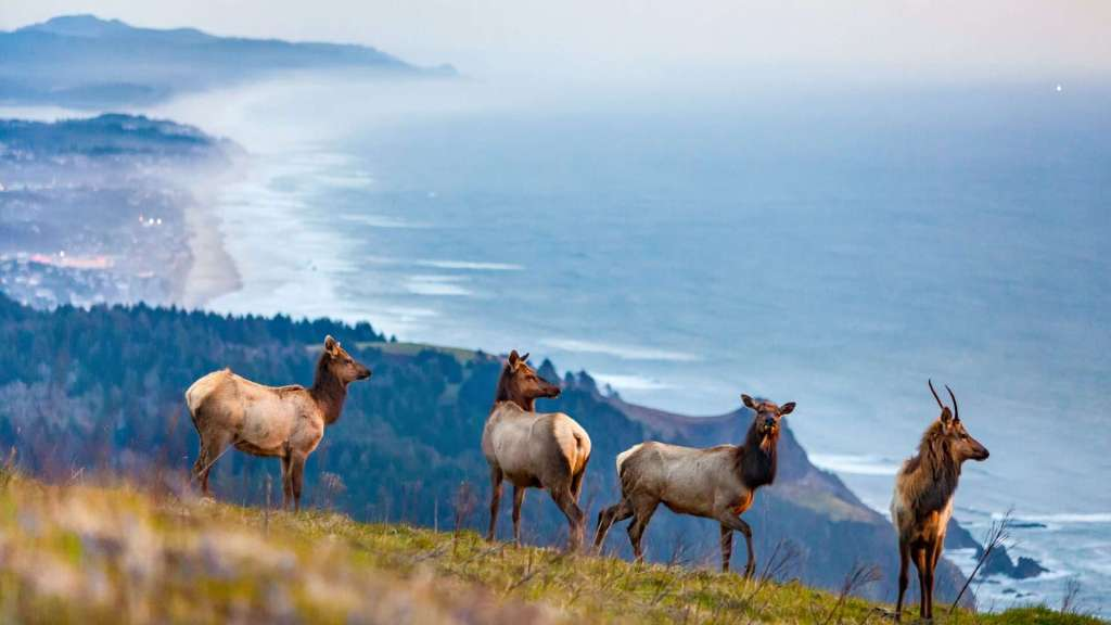 Four elk stand on a very steep meadow against a backdrop of lower headlands, a coastal city, and blue ocean.
