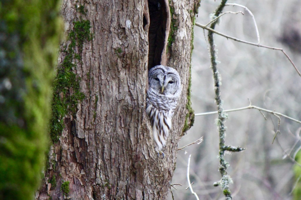An owl sleepily peers out of a hollow tree