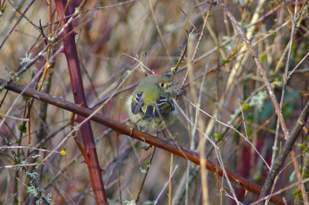 A small green, black, and white bird perches on a thorny vine in a thicket