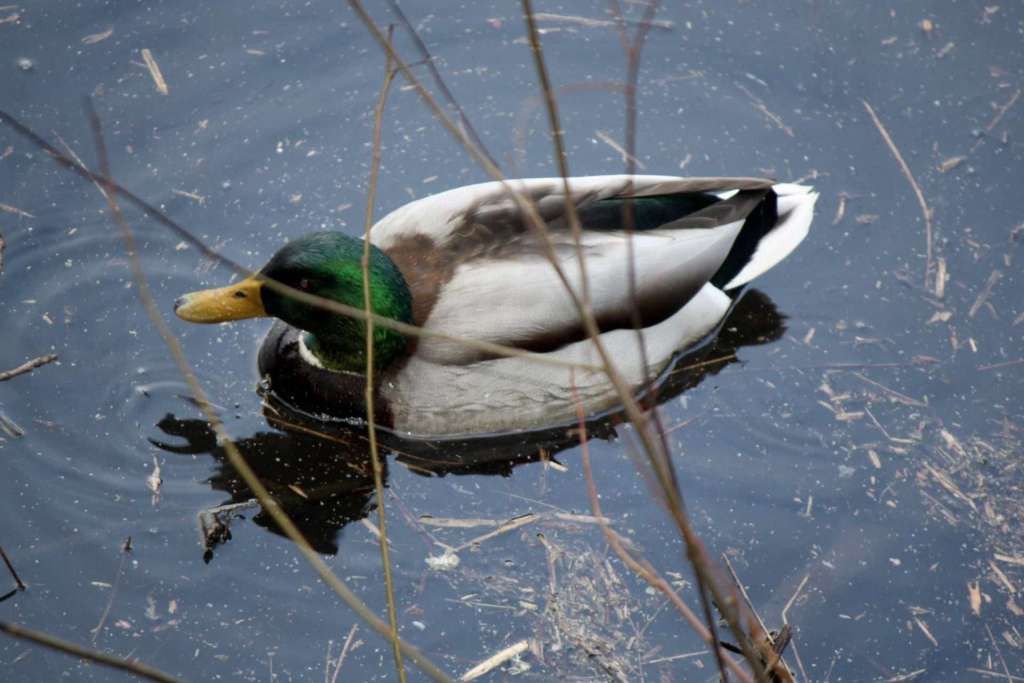 A green-headed, yellow-billed duck floats in dark water behind a screen of twigs.