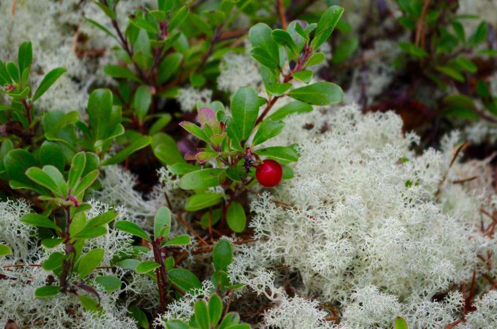 A low, leafy green plant with a red berry growing among pale yellow-green lichen.