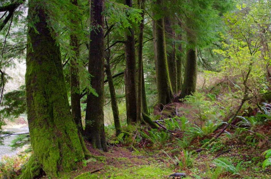 A line of spruce trees with dark trunks and drooping green branches.