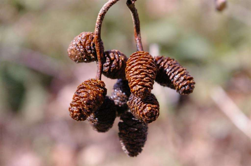 A cluster of small dark brown cones hanging from twigs
