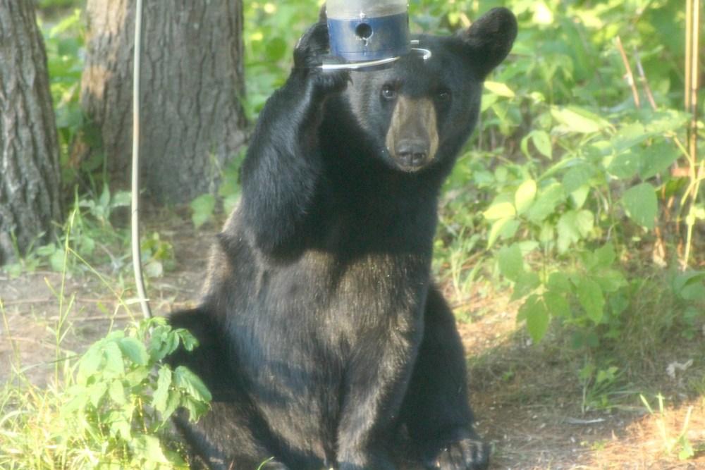 black bear new hampshire