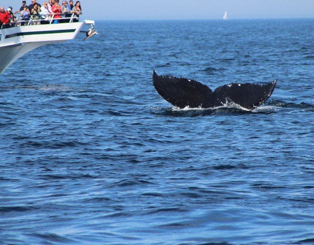 Captain Bill's Whale Watch – Gloucester, MA