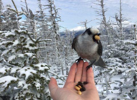 Video: Feeding the Jays on Mt. Tom