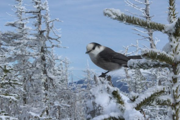 jays on mt. tom