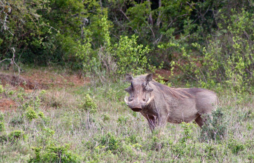kariega wildlife safari