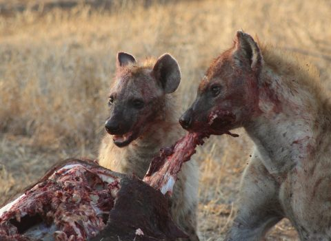 We Got Robbed by Hyenas