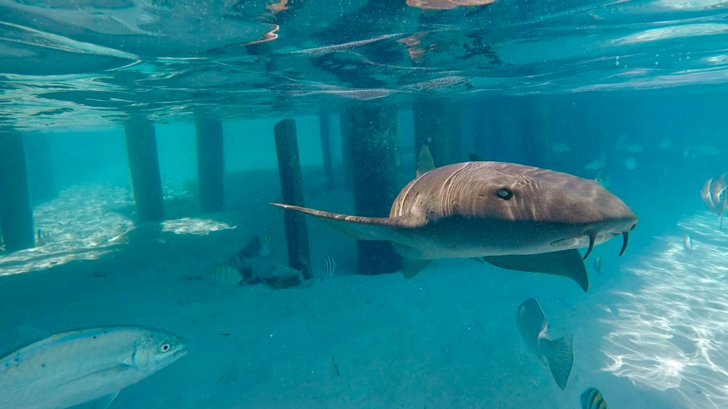 Swimming with Nurse Sharks at Compass Cay | Trails Unblazed