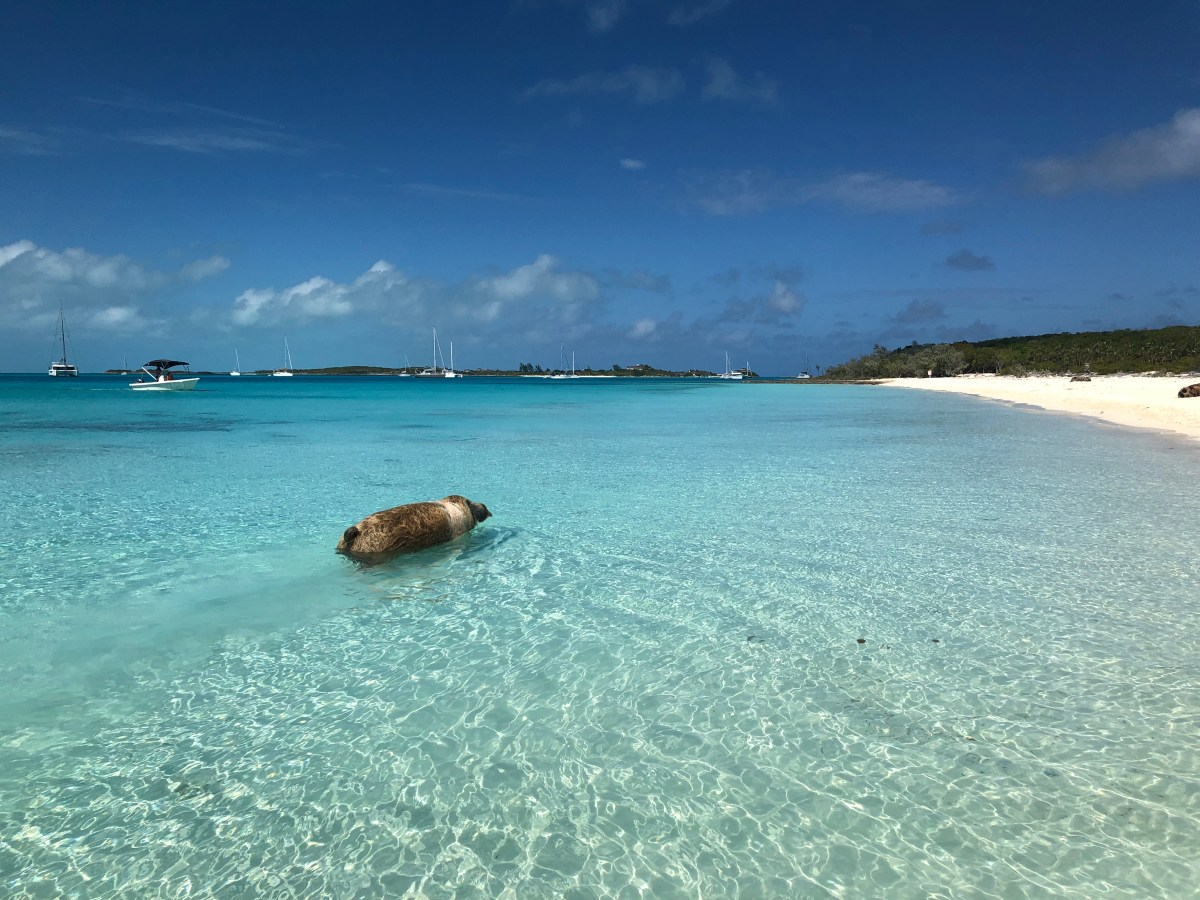 What's the Story with the Swimming Pigs in the Bahamas?