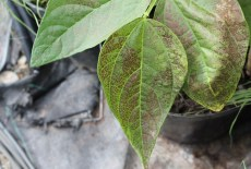 ozone damage on bean plant