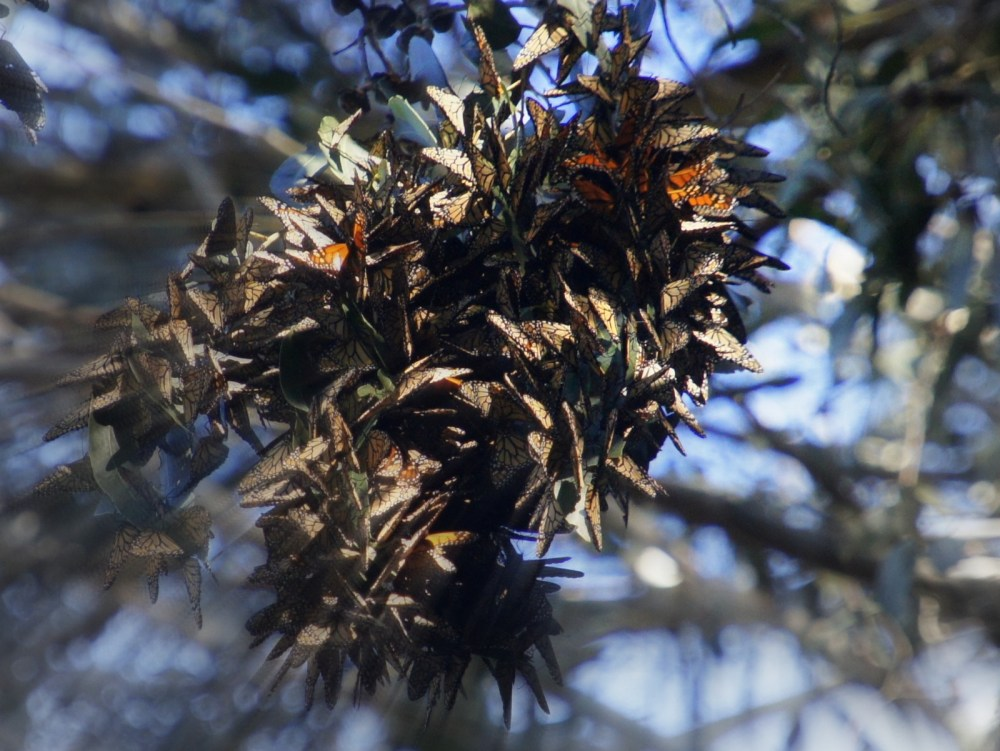 A bundle of monarchs in the morning sun.