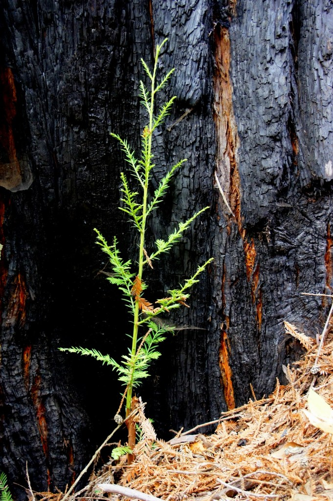 A redwood seedling at the base of a scorched older tree. Redwoods have dormant seeds that grow in burls (big bumps) that crack open in fire, starting the next generation.