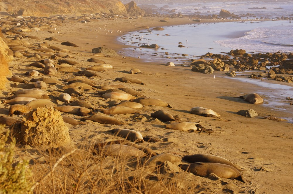 Seals hanging out at Piedras Blancas Beach.