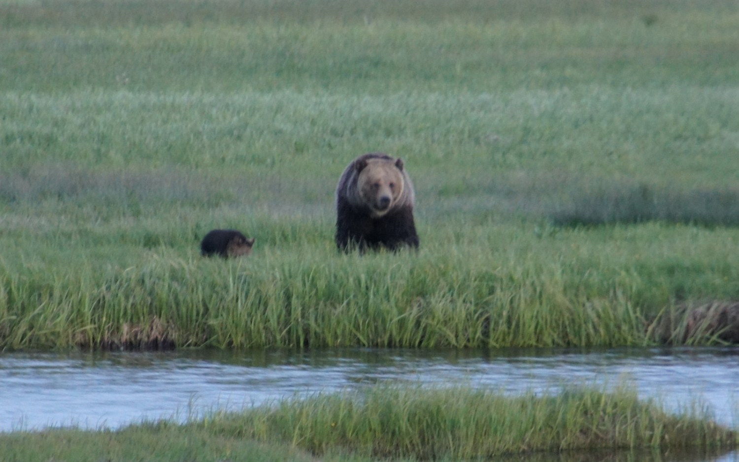 A dusk shot (not so good, sorry) of a mama grizzly and her tiny little cub. I didn't want to get any closer than this for the shot!