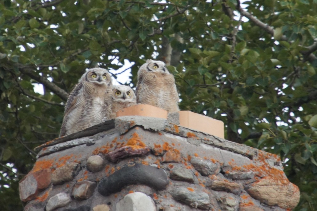 Baby owl chicks fluffed up and hanging out on a chimney in Waterton, Alberta.