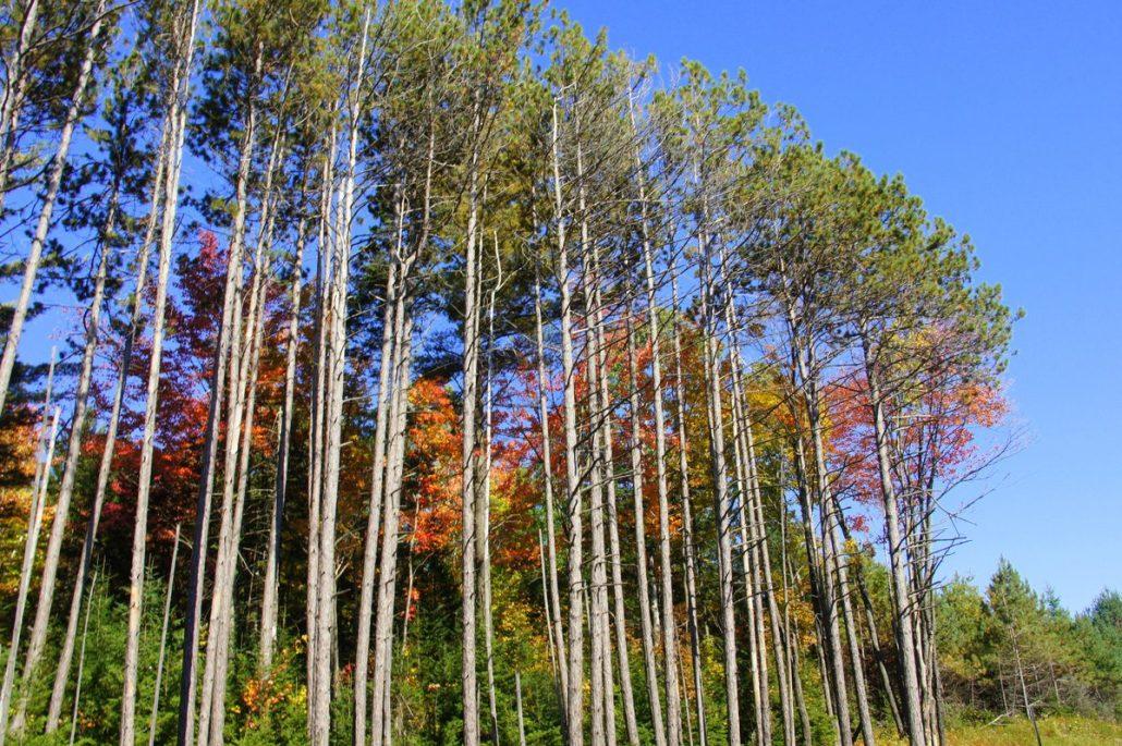 Fall colors peak through bare tree trunks.