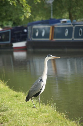 A heron hunts for his dinner along a canal with houseboats in the background.