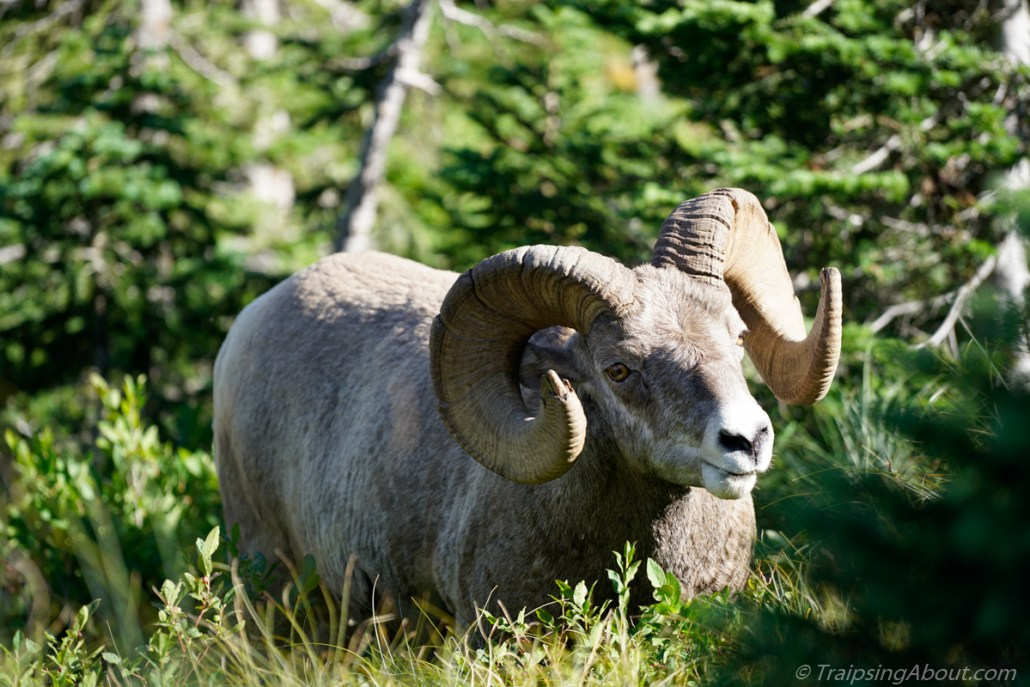 Mountain sheep in Glacier National Park
