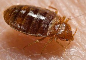 ces petits envahisseurs resistent enormement aux insecticides et il n existe aucun produit miracle ni traitement anti punaise de lit qui puisse les