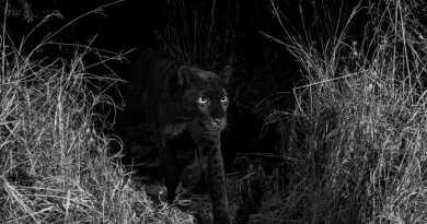 """Rare black leopard 'Black Panther"""" spotted in Africa for the first time in 100 years"""