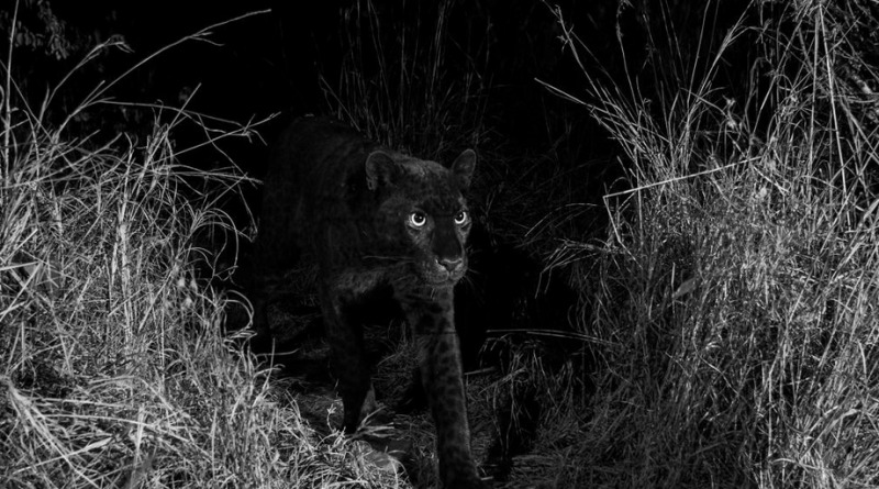 "Rare black leopard 'Black Panther"" spotted in Africa for the first time in 100 years"