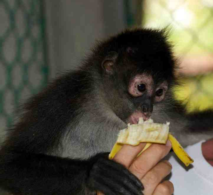 Chimi is a monkey who lives at the beach retreat
