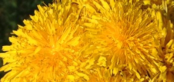 flowering dandelions in a group, cluster of dandelion flowers, banner, bright yellow flowers, how to make homemade herbal face wash from dandelion