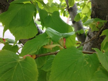 Close up of Linden tree leaves, heart shaped leaves, close-up photo of leaves, start of flowers seen, sedative